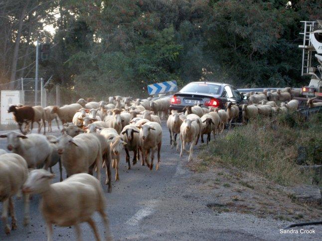 sheep-and-car